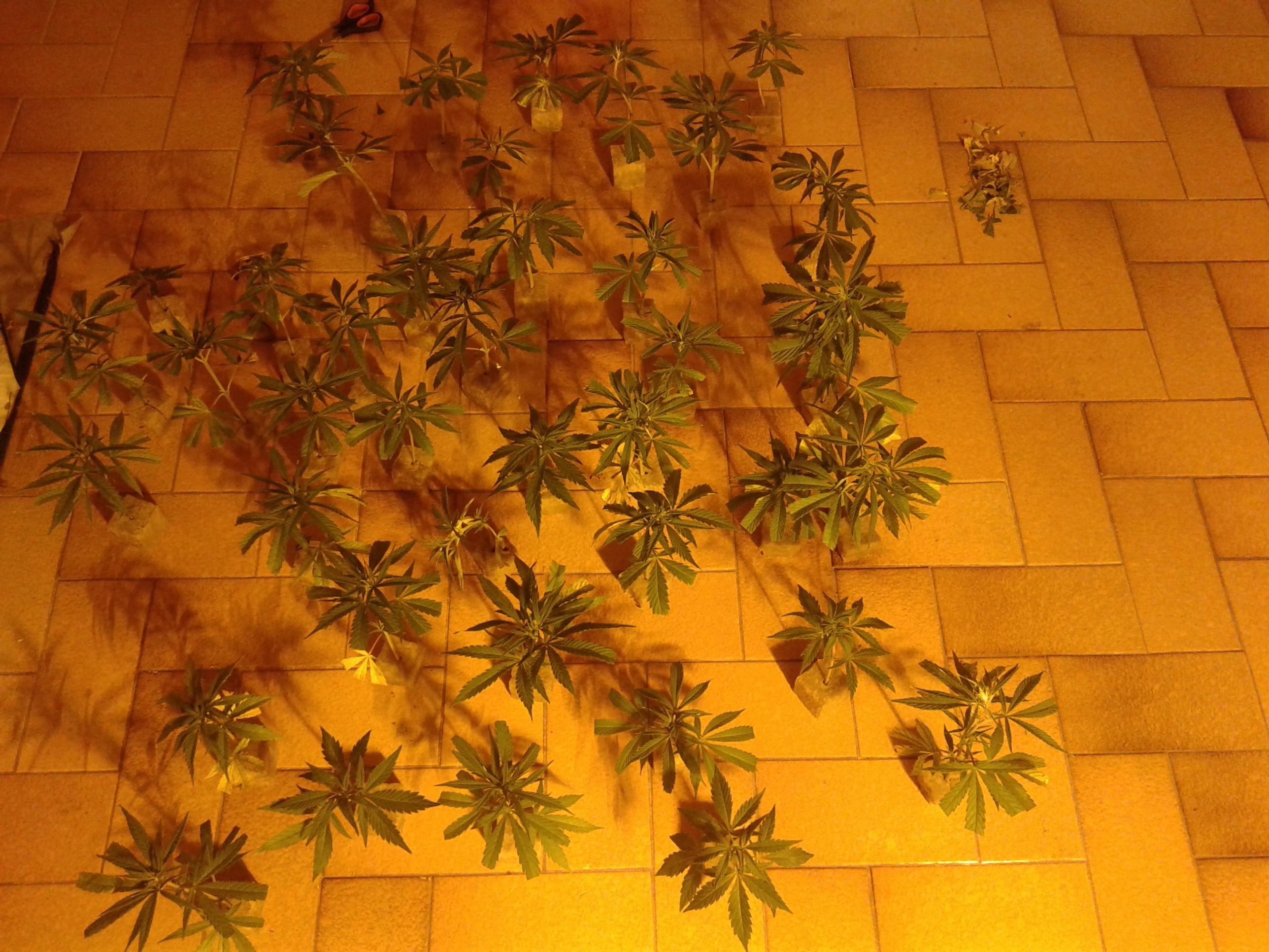 Come Far Morire Una Pianta come fare una talea di cannabis | houseofcannabis - cbd & blog