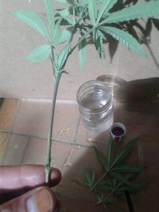 come fare una talea di cannabis 42 320x427 - Come Fare Una Talea Di Cannabis