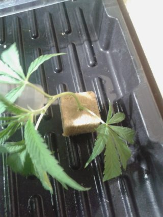 come fare una talea di cannabis 59 320x427 - Come Fare Una Talea Di Cannabis