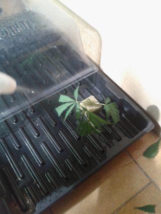 come fare una talea di cannabis 61 320x427 - Come Fare Una Talea Di Cannabis