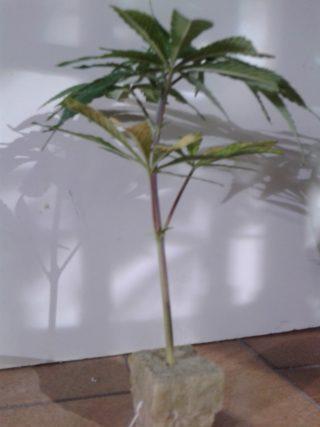 come fare una talea di cannabis 26 320x427 - Coltivare Cannabis In Sog (Sea OF Grenn)