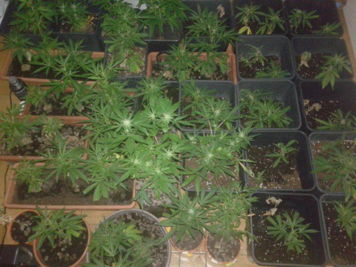 sog 1 720x540 - Coltivare Cannabis In Sog (Sea OF Grenn)
