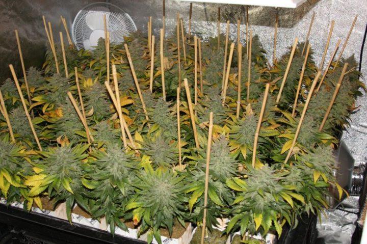 user22515 pic887183 1337375976 720x479 - Coltivare Cannabis In Sog (Sea OF Grenn)
