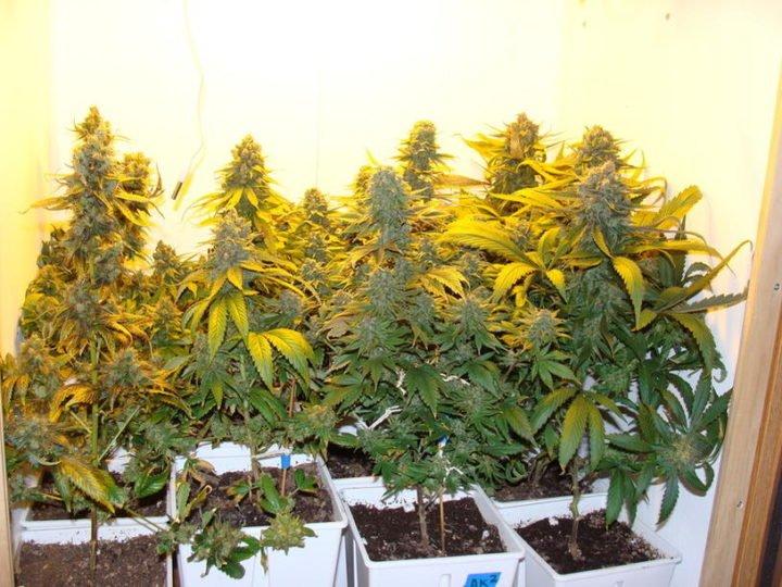 user58641 pic256402 1262149110 720x540 - Coltivare Cannabis In Sog (Sea OF Grenn)