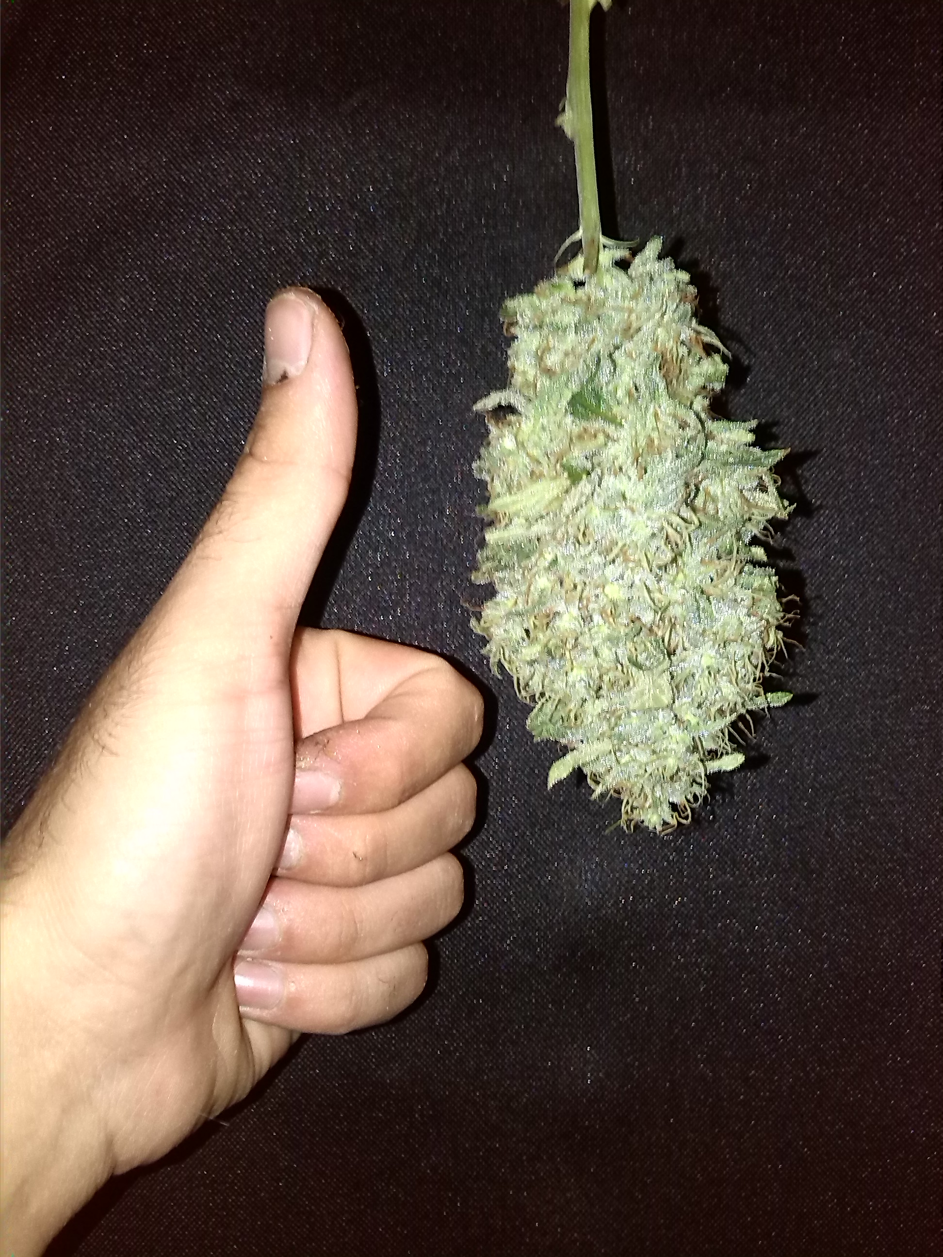 Come Far Morire Una Pianta essiccare cannabis con scatola di cartone | houseofcannabis