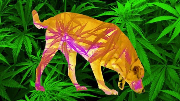 L11 720x405 - Cannabis Terapeutica per Animali
