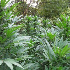 Cannabis light certificata out