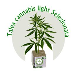 talee di cannabis canapa selezionata houseofcannabis 262x262 - Talea Cannabis Sativa Certificata Lemon THC max 0,45