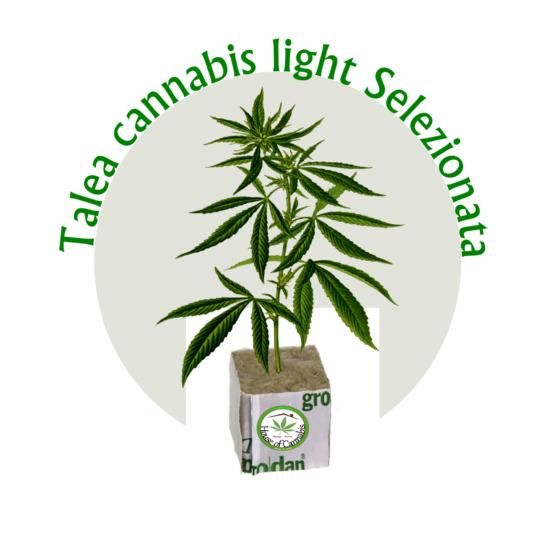 talee di cannabis canapa selezionata houseofcannabis 555x534 - Talea Amnesia Cbd Houseofcannabis