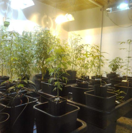 IMG 20190611 110717 e1560255716619 555x557 - Talea Cannabis Sativa Certificata Skunk THC max 0,45