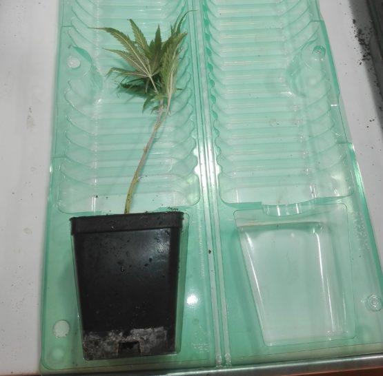 IMG 20190611 112710 e1560255560668 555x546 - Talea Cannabis Sativa Certificata Skunk THC max 0,45