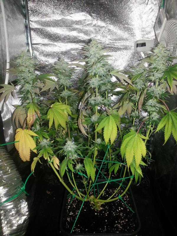 Cultivo di free88 icmag ottimizzare growbox 40x40 - Come ottimizzare la growbox 40 X 40