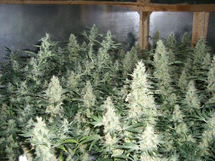 potatura della cannabis 720x540 - Potatura Della Cannabis - SI Fa Oppure NO?