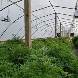 Cannabis Light Green House