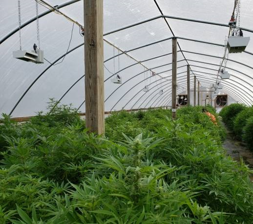 Industrial hemp grown to produce CBD, fiber and other products. Farmers tend their young hemp plants in a hoop house.