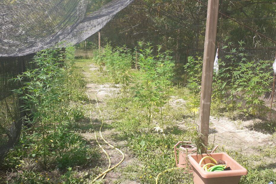 coltivare cannabis biologica