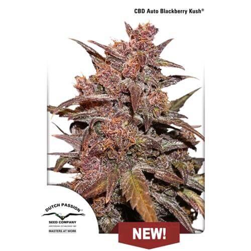 Seme CBD Blackberry Kush Erba Legale